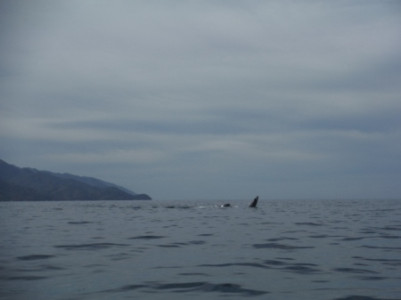 Humpback whales, mom and baby.